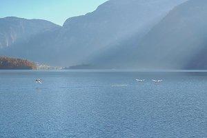 Hallstatt Lake Swan