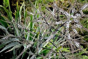 Cordyline indivisa in bloom in bloom