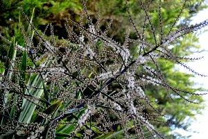 Cordyline indivisa in bloom