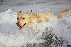 Labrador retriever splashing