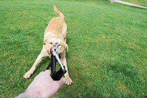 Labrador pulling