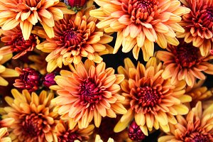 Chrysanthemum Background in Orange