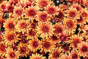 Chrysantemum Background in Orange