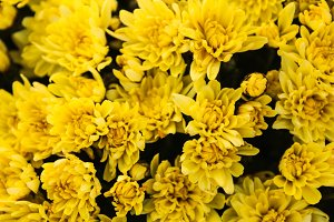Chrysanthetum Yellow Background