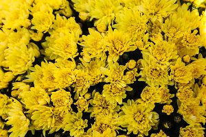Chrysanthemum Yellow Background
