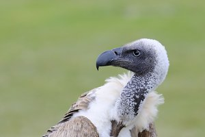 African white backed vulture.