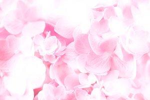 sweet  hydrangea flowers