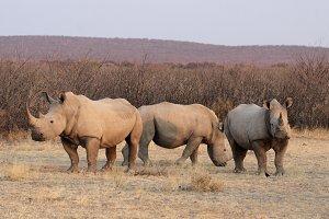 Square-lipped Rhinoceros (Ceratotherium simum)