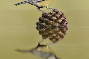 Bird and pine cone .