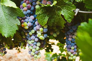 Grapes ripening in the vine
