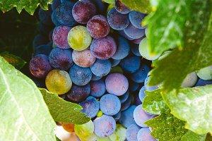 Ripening grapes in the vine
