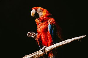 Red parrot sits on a branch