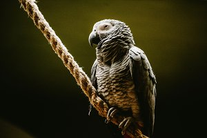 Jaco Parrot sits on a branch