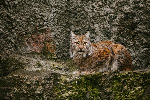 Lynx sits on the rocks