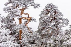 SNOWED TREES (VERTICAL)