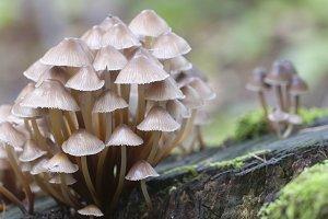 Mushrooms (Mycena inclinata)
