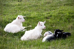 Three small goat lying on green grass