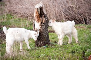 Two small goats graze near a tree