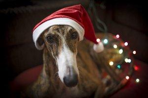greyhound christmas