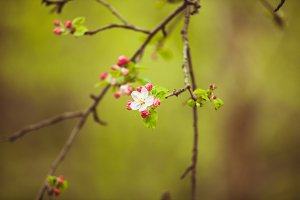 Branches of apple tree