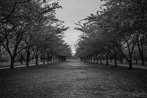 Aisle of Trees