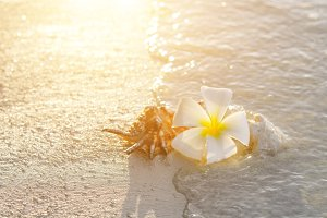 Plumeria blossom and shell on sunset sand beach with copy space