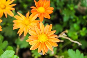 Daisies in Orange