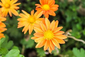 Daisies in Orange Background