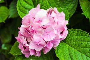 Hygrangea in Pink