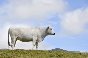 White cow pyrenees.jpg