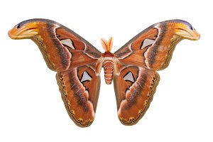Atlas Moth isolated on white