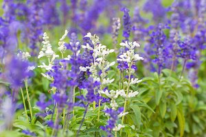 lavender flowers in garden.