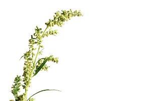 Wormwood plant over white