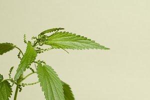 Urtica dioica plant