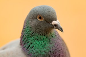 Portrait of a grey dove