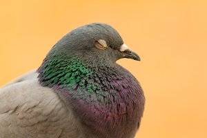 Profile of a dove