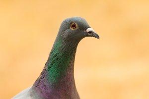 Wild grey dove