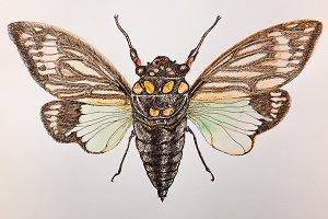 Cicada- Real Tosena Splendida