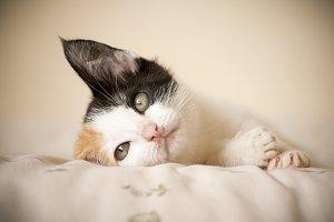 Whistful Kitten