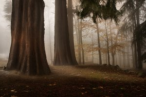 Forest with trees and fog