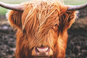 Highland Cow Cattle Scotland