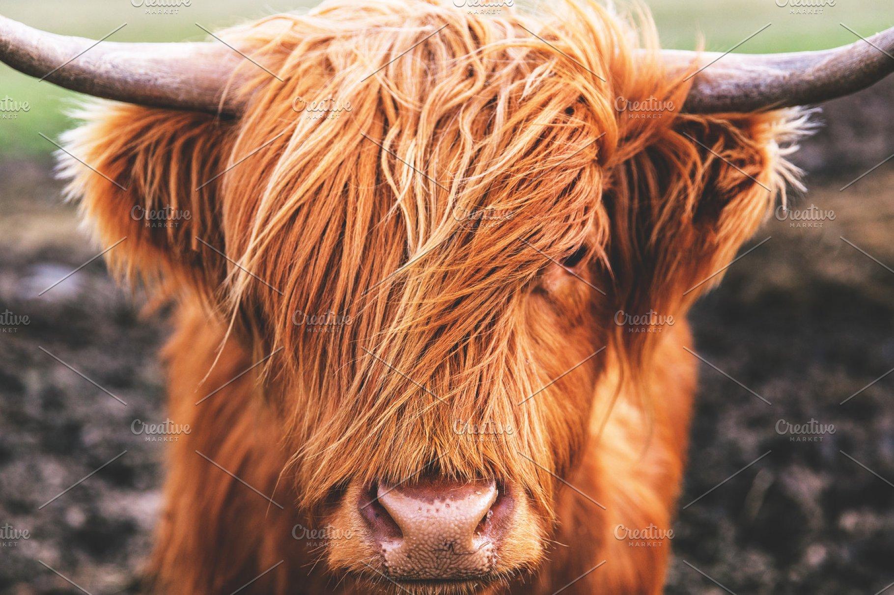 Highland Cow Cattle Scotland