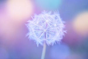 White close up dandelion