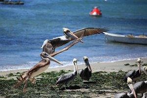 Pelicans in Algarrobo, Chile