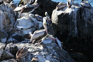 Group of Pelicans on Rock
