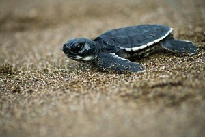 Turtle Prieta (Chelonia agassizii)