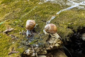 Wild snails in nature. A pair of snails. Tree. Forest. Moss.