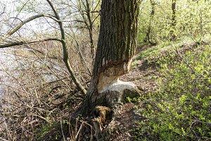 A tree near a lake chewed by beavers.