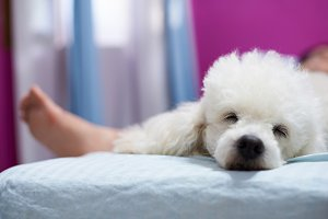 Relax sleeping white poodle