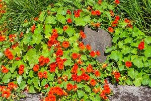 Red Nasturtium flowers in the garden